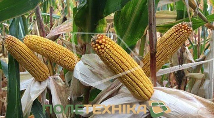 Syngenta представляє Гібрид кукурудзи СИ Маримба ФАО 240