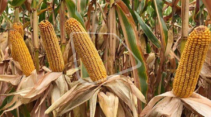 Syngenta представляє Гібрид кукурудзи СИ Маримба ФАО 360